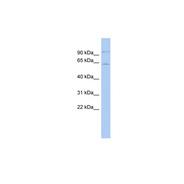 Rabbit anti-INSM2 polyclonal antibody - middle region