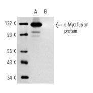 c-Myc Antibody (A-14) PE