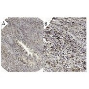c-Myc Antibody (A-14) TRITC