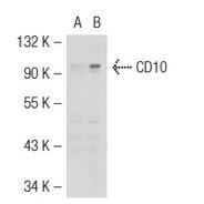 CD10 Antibody (H-321) FITC