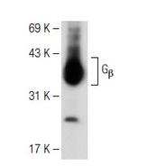 Gβ Antibody (T-20)