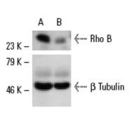 Rho B Antibody (119) PE