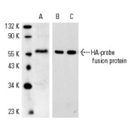 HA-probe Antibody (Y-11) HRP