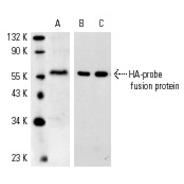 HA-probe Antibody (Y-11) FITC