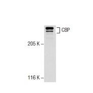 CBP Antibody (C-20)